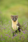Pine Marten (Martes Martes) Female Portrait in Caledonian Forest, Highlands, Scotland, UK Photographic Print by Terry Whittaker
