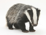 Portrait of a Young Badger (Meles Meles) Photographic Print by Mark Taylor