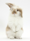 Young Fluffy Rabbit Standing Up Reproduction photographique par Mark Taylor