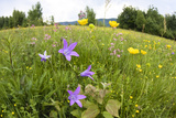 Flowering Meadow with Spreading Bellflower and Buttercup Poloniny Np, East Slovakia, Europe Photographic Print by  Wothe