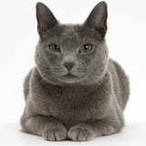 Russian Blue Female Cat with Green Eyes Photographic Print by Mark Taylor