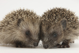 Two Baby Hedgehogs (Erinaceus Europaeus) Photographic Print by Mark Taylor