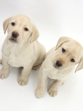 Yellow Labrador Retriever Puppies, 8 Weeks Photographic Print by Mark Taylor