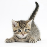Cute Playful Tabby Kitten, Stanley, 6 Weeks Photographic Print by Mark Taylor