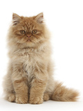 Red Persian Male Kitten, 15 Weeks, Sitting Photographic Print by Mark Taylor