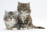 Two Maine Coon Kittens, 8 Weeks Fotoprint van Mark Taylor