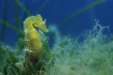 Short Snouted Seahorse (Hippocampus Hippocampus) Malta, Mediteranean, June 2009 Reproduction photographique par  Zankl