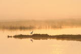 Avocet (Recurvirostra Avosetta) in Mist on Grazing Marsh at Dawn, Thames Estuary, North Kent, UK Reproduction photographique par Terry Whittaker