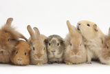 Assorted Sandy Rabbits and Guinea Pigs Photographic Print by Mark Taylor