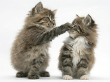 Two Playful Maine Coon Kittens, 7 Weeks Photographic Print by Mark Taylor