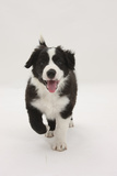 Border Collie Running Towards the Camera Photographic Print by Mark Taylor