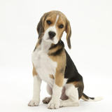 Portrait of a Beagle Puppy Sitting Photographic Print by Mark Taylor