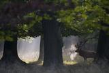 Red Deer (Cervus Elaphus) Stag under Trees, During Rut, Klampenborg Dyrehaven, Denmark, September Photographic Print by Möllers