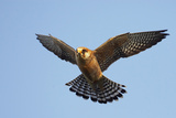 Red-Footed Falcon (Falco Vespertinus) Low Angle Shot of Female in Flight, Hortobagy Np, Hungary Photographic Print by  Varesvuo
