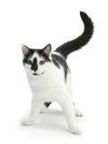 Black-And-White Cat, Pablo Photographic Print by Mark Taylor