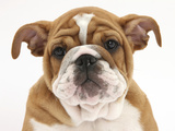 Head Portrait of a Bulldog Puppy, 11 Weeks Photographic Print by Mark Taylor