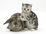 Silver Tabby Kitten and Agouti Lop Rabbit Photographic Print by Mark Taylor