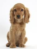 Golden Cocker Spaniel Puppy, Maizy, Sitting Photographic Print by Mark Taylor