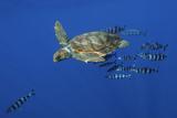 Loggerhead Turtle (Caretta Caretta) with a Shoal of Pilot Fish, Pico, Azores, Portugal, June Photographic Print by  Lundgren