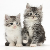 Two Maine Coon-Cross Kittens, 7 Weeks Photographic Print by Mark Taylor