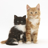 Ginger and Black-And-White Kittens Photographic Print by Mark Taylor