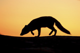 Arctic Fox (Vulpes Lagopus) Silhouetted at Sunset, Greenland, August 2009 Photographic Print by  Jensen
