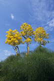 Giant Fennel (Ferula Communis) Plants in Flower, Kaplica, Northern Cyprus, April 2009 Photographic Print by  Lilja