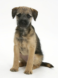 Border Terrier Bitch Puppy, Kes, Sitting Photographic Print by Mark Taylor