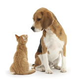 Beagle Dog, Bruce, with Ginger Kitten, Tom Fotografisk tryk af Mark Taylor