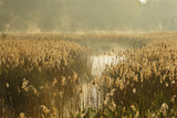 Reedbeds (Phragmites Australis) at Sunrise, Lakenheath Fen Rspb Reserve, Suffolk, UK, May Photographic Print by Terry Whittaker