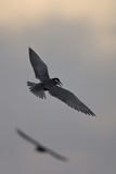 Whiskered Tern (Chlidonias Hybrida) in Flight, Lake Skadar National Park, Montenegro, May 2008 Photographie par  Radisics