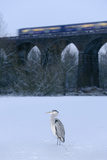 Grey Heron (Ardea Cinerea) on Frozen River, River Tame, Stockport, Greater Manchester, UK Photographic Print by Terry Whittaker