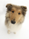 Rough Collie Puppy, 14 Weeks, Looking Up Photographic Print by Mark Taylor