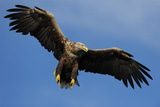 White Tailed Sea Eagle in Flight, North Atlantic, Flatanger, Nord-Trondelag, Norway, August Photographic Print by  Widstrand