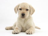 Yellow Labrador Retriever Puppy, 8 Weeks Photographic Print by Mark Taylor
