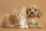 Cavapoo Puppy and Ginger Kitten Photographic Print by Mark Taylor