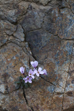 Endemic Rockcress (Arabis Purpurea) Flowers, Paphos Forest, Troodos Mountains, Cyprus, April 2009 Photographic Print by  Lilja