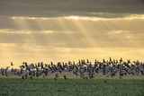 Dark-Bellied Brent Geese (Branta Bernicla) Taking Flight from Grazing Field, Wallasea Island, UK Photographic Print by Terry Whittaker