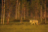 European - Grey Wolf (Canis Lupus) at Sunset, Kuhmo, Finland, July 2009. Wwe Indoor Exhibition Photographic Print by  Widstrand
