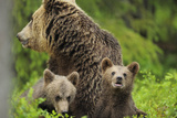 Eurasian Brown Bear (Ursus Arctos) Mother with Two Cubs, Suomussalmi, Finland, July 2008 Photographic Print by  Widstrand