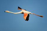 Greater Flamingo (Phoenicopterus Roseus) in Flight, Camargue, France, April 2009 Photographic Print by  Allofs