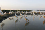 Flock of Great Egret (Ardea Alba) at Water, Pusztaszer, Hungary, May 2008 Photographic Print by  Varesvuo