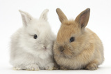 Two Baby Lionhead Cross Lop Bunnies Photographic Print by Mark Taylor