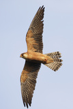 Red Footed Falcon (Falco Vespertinus) in Flight, Danube Delta, Romania, May 2009 Photographic Print by  Presti