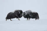 Two Muskox (Ovibos Moschatus) Face to Face, Dovrefjell National Park, Norway, February 2009 Photographic Print by  Munier