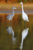 Great Egret and Grey Heron Stood in Water, Elbe Biosphere Reserve, Lower Saxony, Germany Photographic Print by  Damschen
