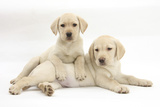 Yellow Labrador Retriever Puppies, 9 Weeks Photographic Print by Mark Taylor