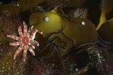 Kelp with Common - Red Sunstar (Crossaster Papposus) and Shells, Moere Coastline, Norway Photographic Print by  Lundgren
