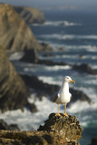 Yellow Legged Gull on Rock, Cabo Sardão, Np of South West Alentejano and Costa Vicentina, Portugal Photographic Print by  Quinta
