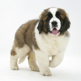 Saint Bernard Puppy, Vogue Photographic Print by Mark Taylor